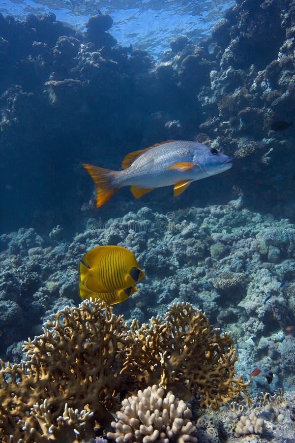 Pesci nel Mar Rosso fotografia stock libera da diritti