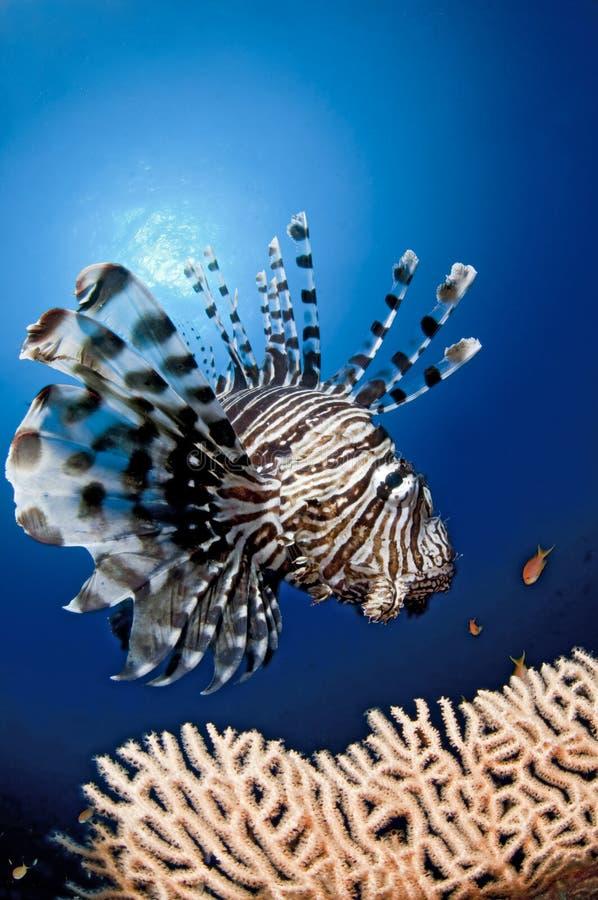 Pesci nella scogliera, Egitto, Mar Rosso del leone immagine stock libera da diritti