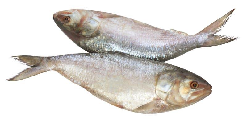 Pesci popolari di Ilish di Asia Sud-Orientale fotografie stock