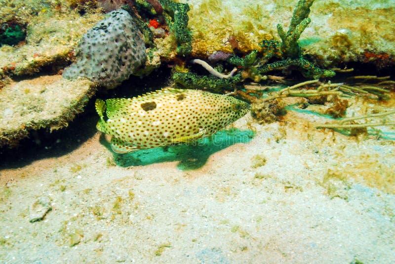 Pesci posteriori dell'epinefolo della roccia subacquei immagini stock