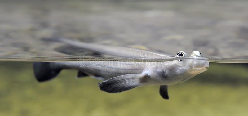 pesci Quattro-eyed che galleggiano sull'acqua fotografie stock libere da diritti