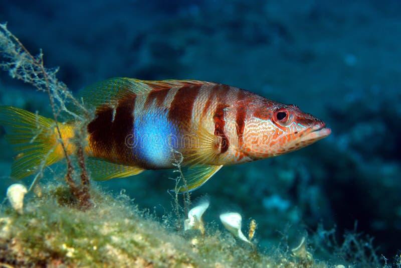 Pesci rossi fotografia stock libera da diritti