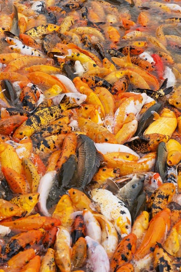 Pesci rossi di koi fotografia stock immagine di goldfish for Vaschetta per pesci rossi prezzi