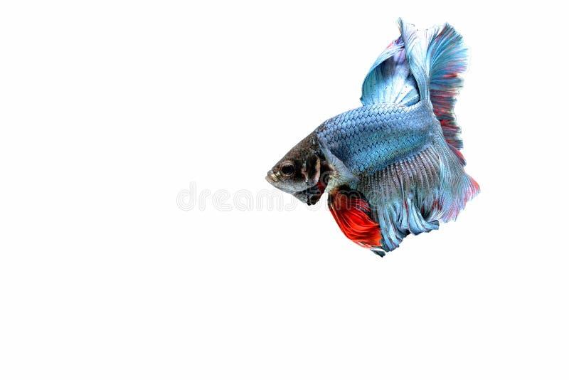 Pesci siamesi di combattimento immagine stock