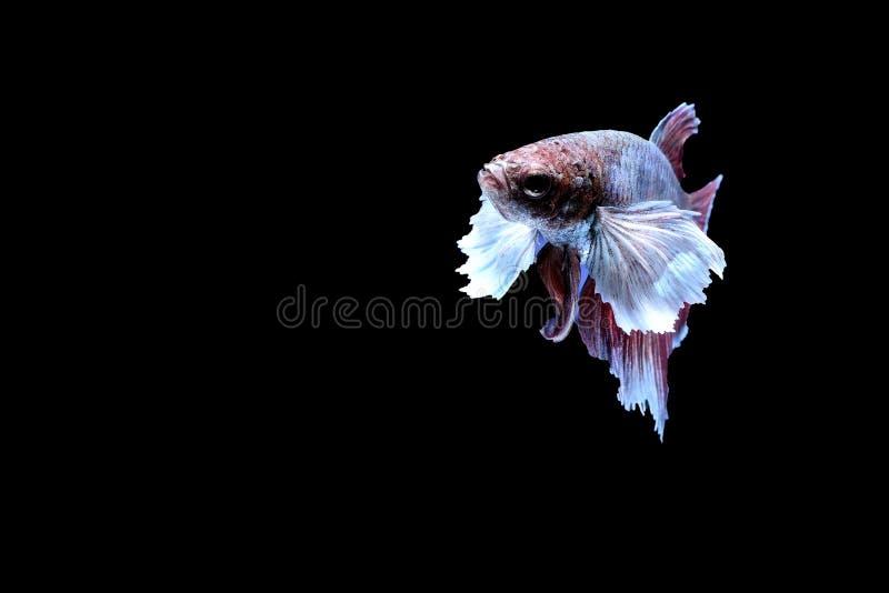 Pesci siamesi di combattimento fotografie stock libere da diritti