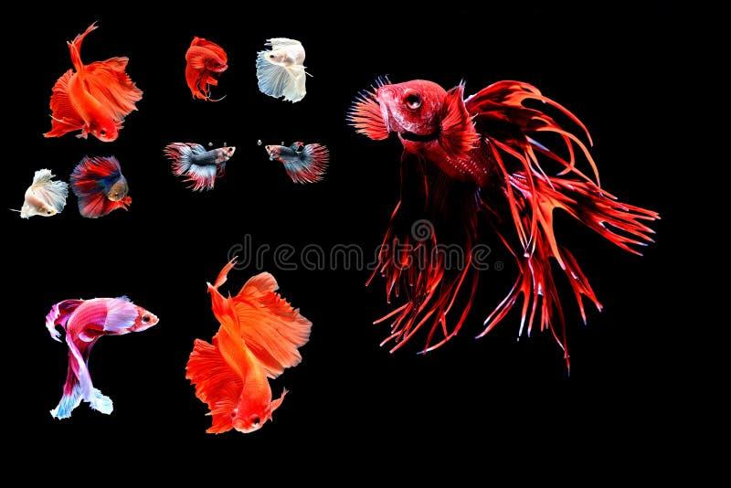 Pesci siamesi di combattimento fotografia stock