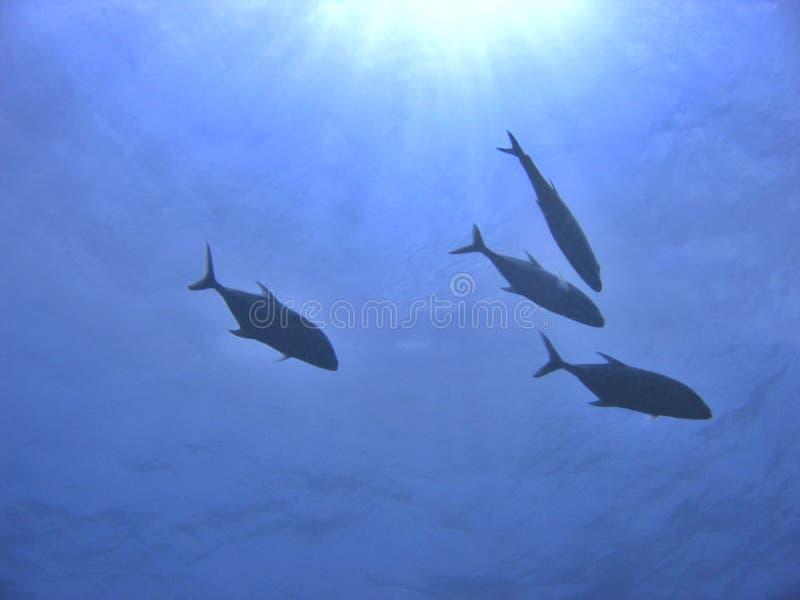 Pesci Silhoutte immagine stock libera da diritti