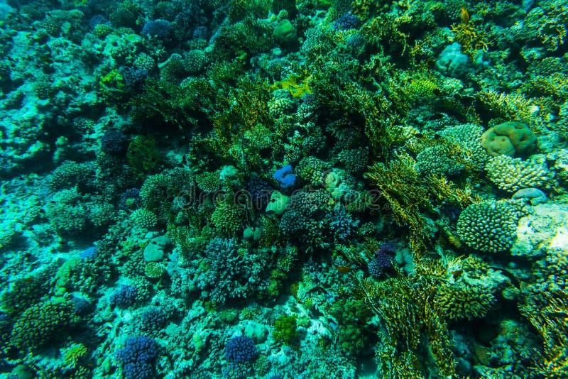 Pesci sul reaf, corallo del Mar Rosso fotografia stock libera da diritti