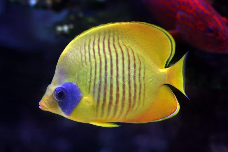 Pesci tropicali â24 immagini stock