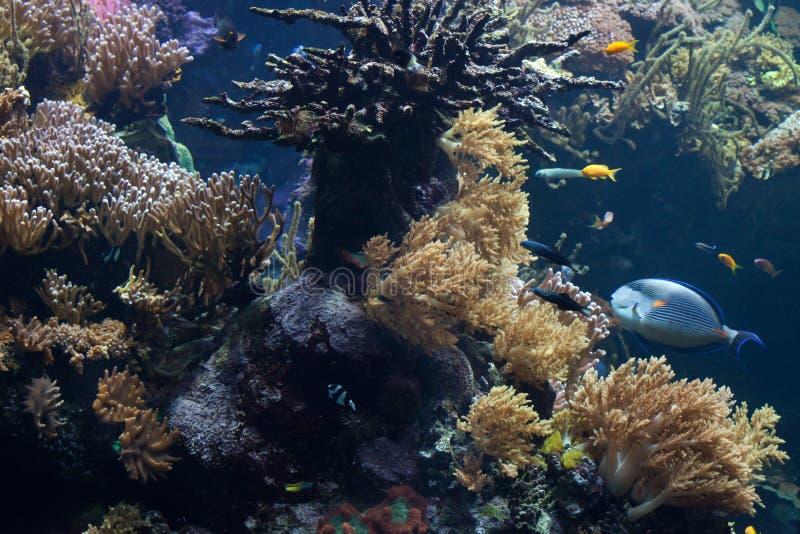 Pesci tropicali che nuotano nella barriera corallina immagini stock libere da diritti