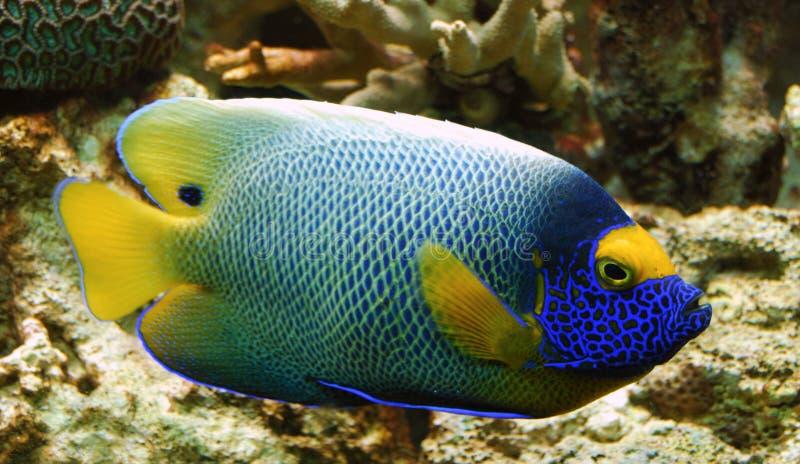 Pesci tropicali variopinti fotografie stock libere da diritti