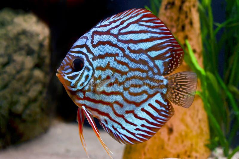 Pesci tropicali variopinti del discus immagini stock