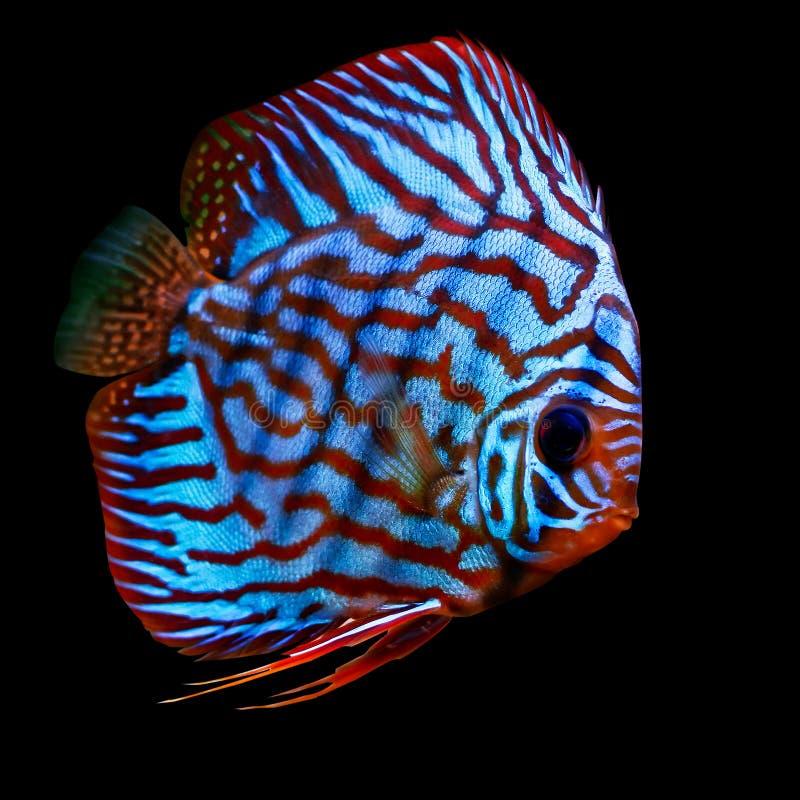 Pesci tropicali variopinti del discus fotografia stock libera da diritti