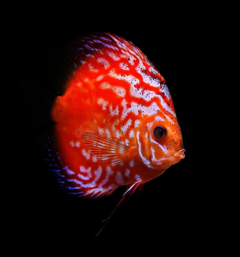 Pesci tropicali variopinti del discus immagine stock libera da diritti