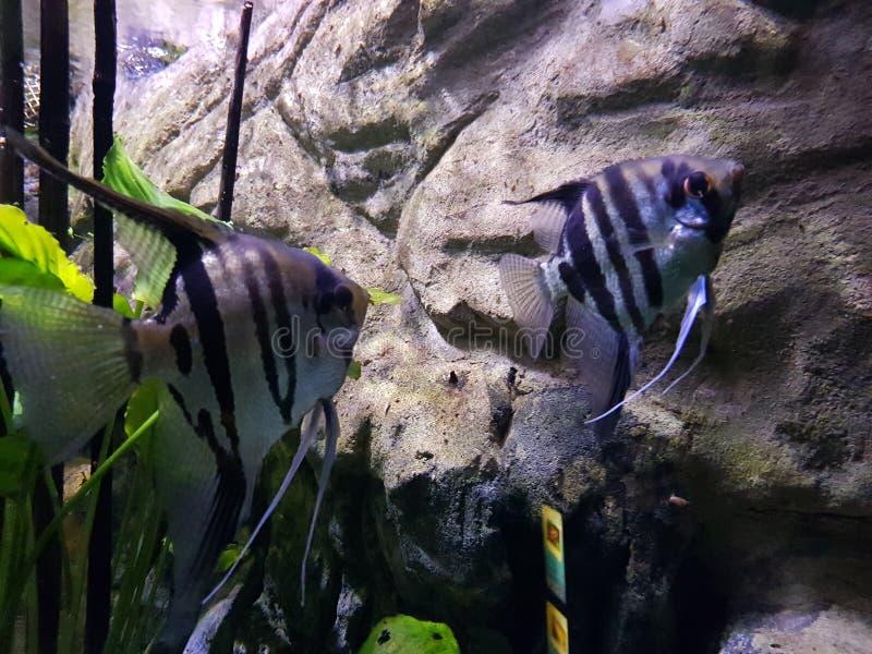Pesci in un acquario fotografia stock libera da diritti