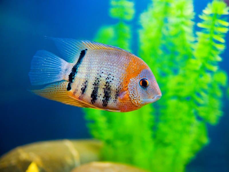 Pesci variopinti immagine stock libera da diritti