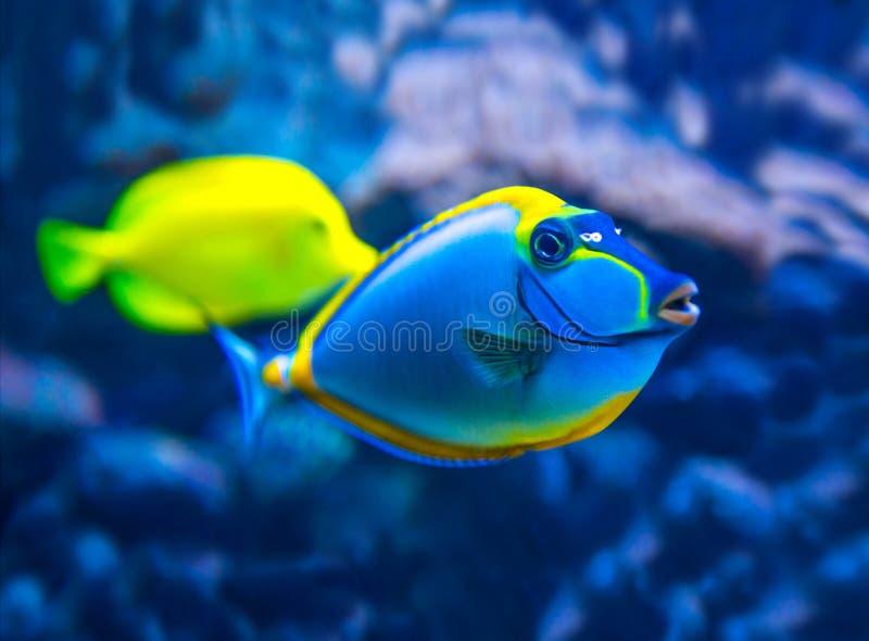 Pesci variopinti in acquario fotografia stock