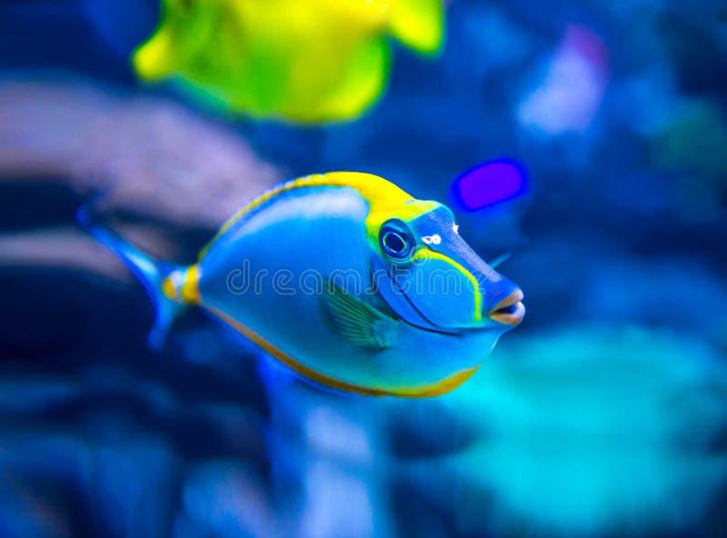 Pesci variopinti in acquario immagine stock