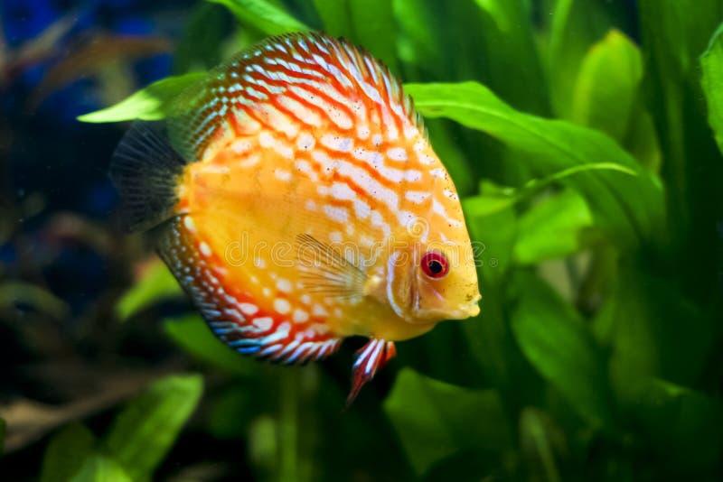 Pesci variopinti del Discus fotografia stock