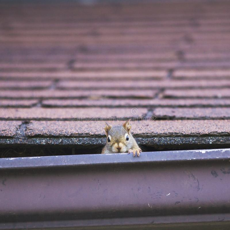 Pesky red squirrel making nest in roof; stock image