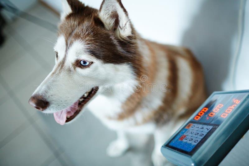 Peso do cão imagem de stock