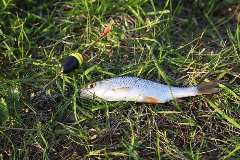 pesque a barata que encontra-se na grama travada pelo pescador imagem de stock royalty free