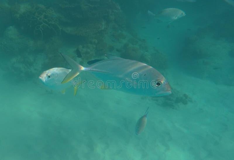 Pesque debajo del agua en agua muy azul en el salto y bucear de Malasia fotos de archivo libres de regalías