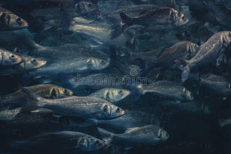 Pesque el enjambre, muchos pescados que nadan en una dirección imagen de archivo libre de regalías