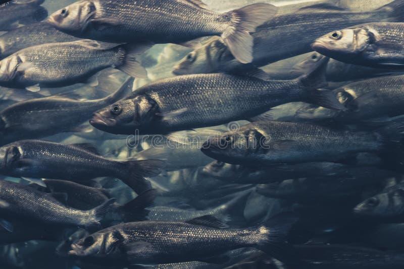 Pesque el enjambre, muchos pescados que nadan en una dirección fotos de archivo