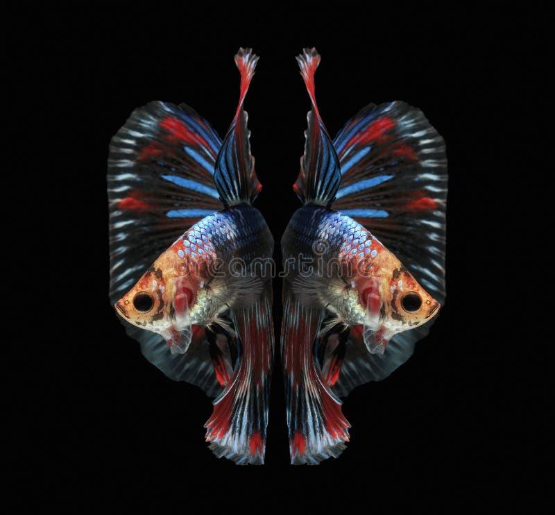 Pesque luchando, los pescados hermosos, pescados coloridos que luchan Tailandia, cola colorida, acción prominente, buena postura fotografía de archivo