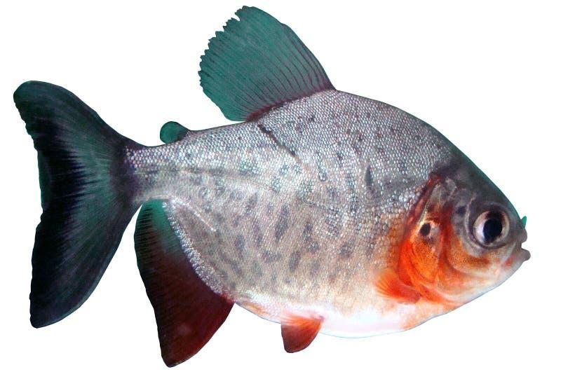 Pesque o paku vermelho do piranha do bidens de Colossoma