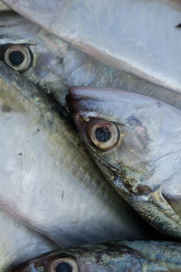 Pesque o teste padrão Fundo dos peixes Cavala fresca Projeto das etiquetas para conservas alimentares fotografia de stock