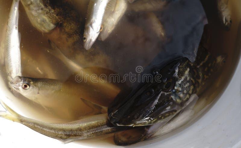 pesque Rudd cogido en el cebo en un cubo plástico, brema, lucio, fotos de archivo libres de regalías