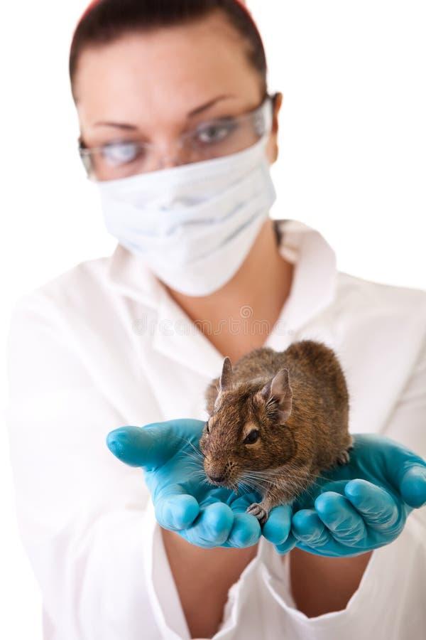 Pesquisa do animal de laboratório foto de stock