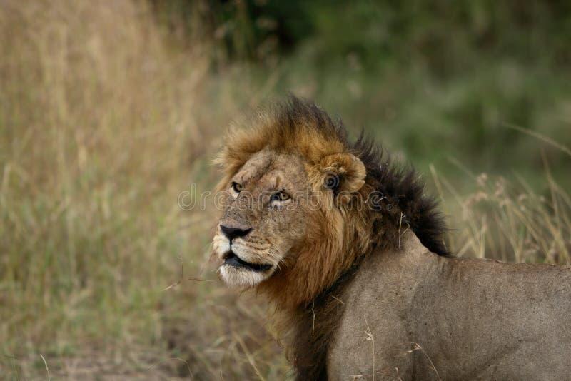 Pesquisa masculina do leão imagens de stock royalty free