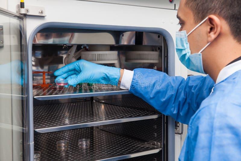 Pesquisador que introduz um prato de petri em uma incubadora imagens de stock