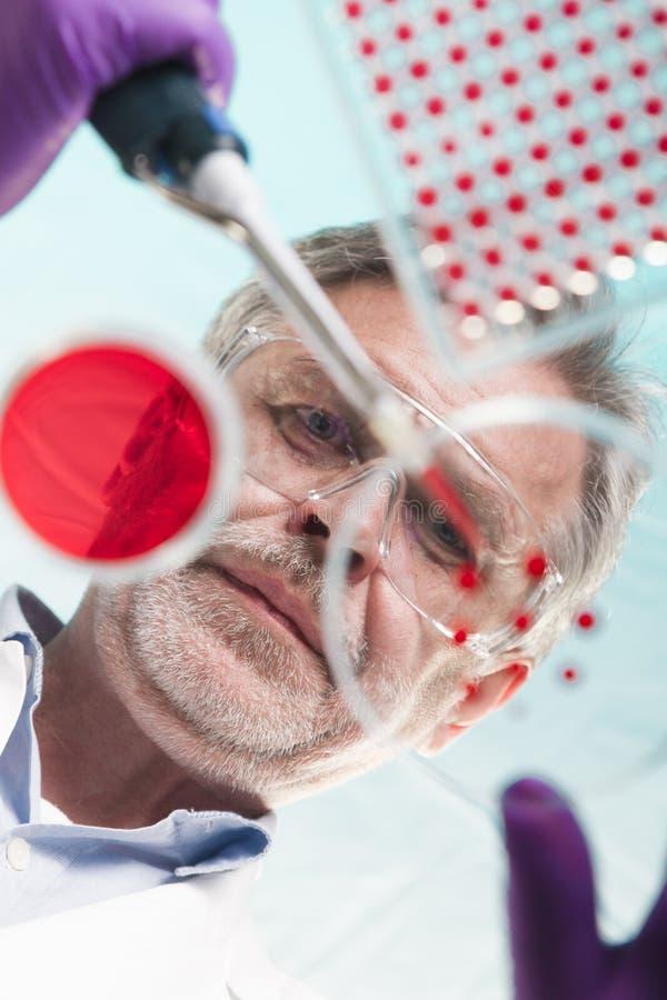 Pesquisador superior da ciência da vida que transplanta as bactérias imagens de stock