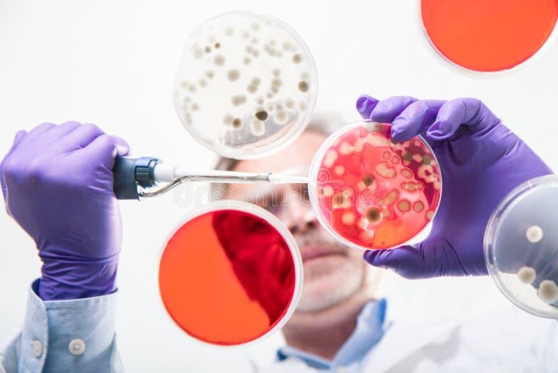 Pesquisador superior da ciência da vida que transplanta as bactérias fotografia de stock royalty free