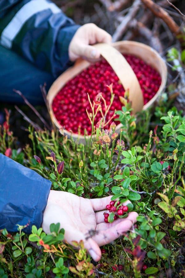 A pessoa caucasiano recolhe a uva-do-monte vermelha na madeira, a ideia do close-up de uma mão e uma cesta completamente das baga fotografia de stock