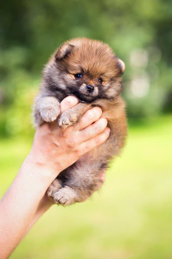 Pessoa disponivel do cachorrinho de Pomeranian foto de stock royalty free