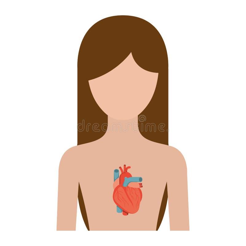 Pessoa fêmea corpo colorido da silhueta do meio com sistema do coração ilustração do vetor