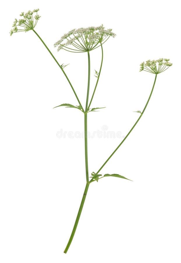 Pessoa idosa à terra de florescência, podagraria de Aegopodium isolada no fundo branco imagens de stock royalty free