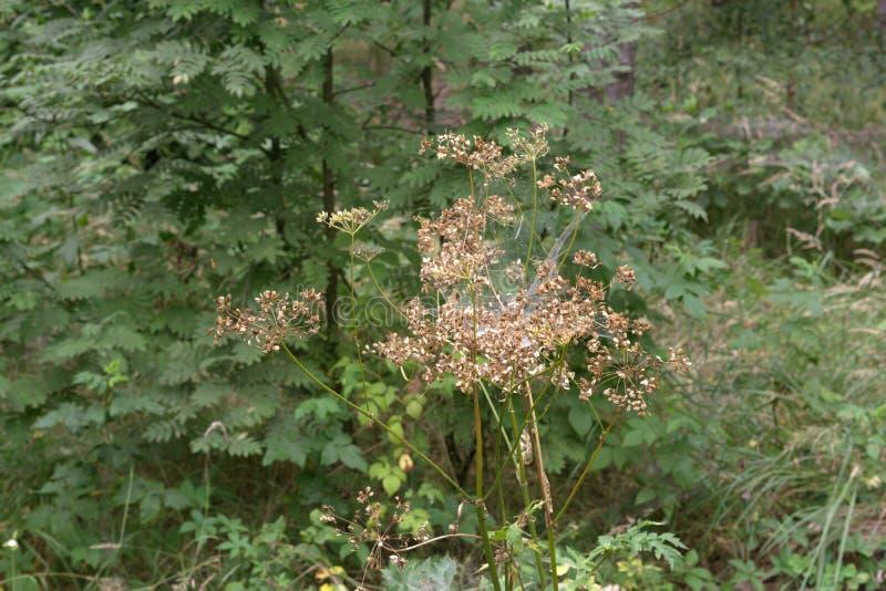 Pessoa idosa à terra murchada Planta alta, complicada pela teia de aranha na parte traseira imagem de stock royalty free