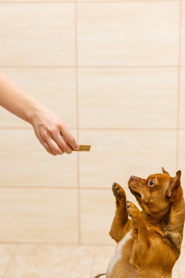 Pessoa que dá deleites do alimento aos cães pequenos imagem de stock