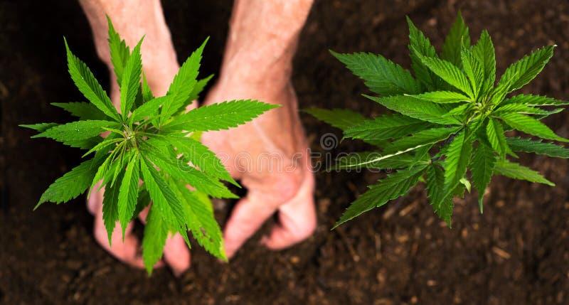 Pessoa que planta o cânhamo industrial no solo fotos de stock