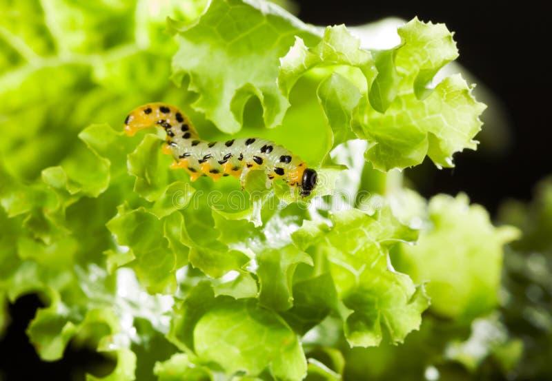Pest caterpillar on lettuce. Yellow caterpillar crawling on lettuce leaf royalty free stock photo