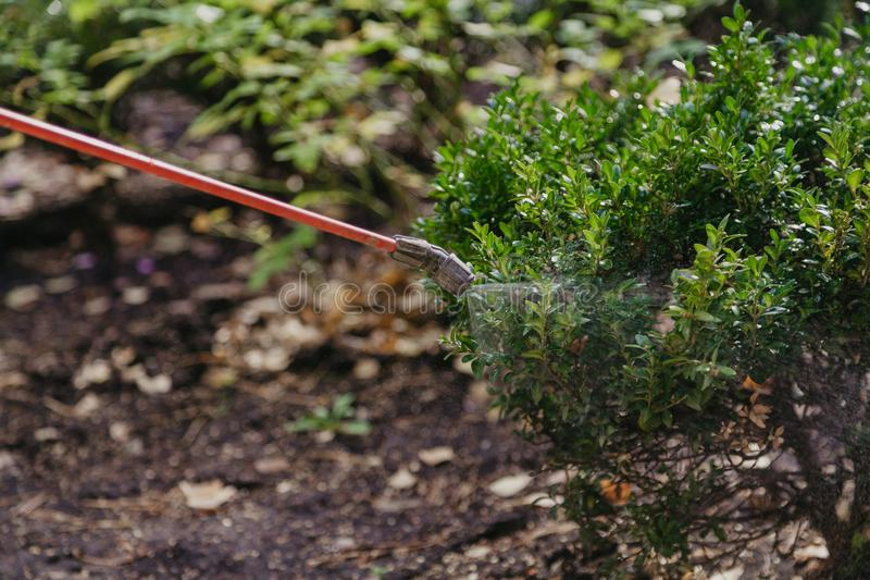 Boxwood bush is sprayed with  special tool. Pest control. The green boxwood bush is sprayed with water droplets from a long tube royalty free stock image