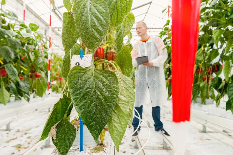 Pest control in a greenhouse. Botanist researches the test facility for pest control stock photography