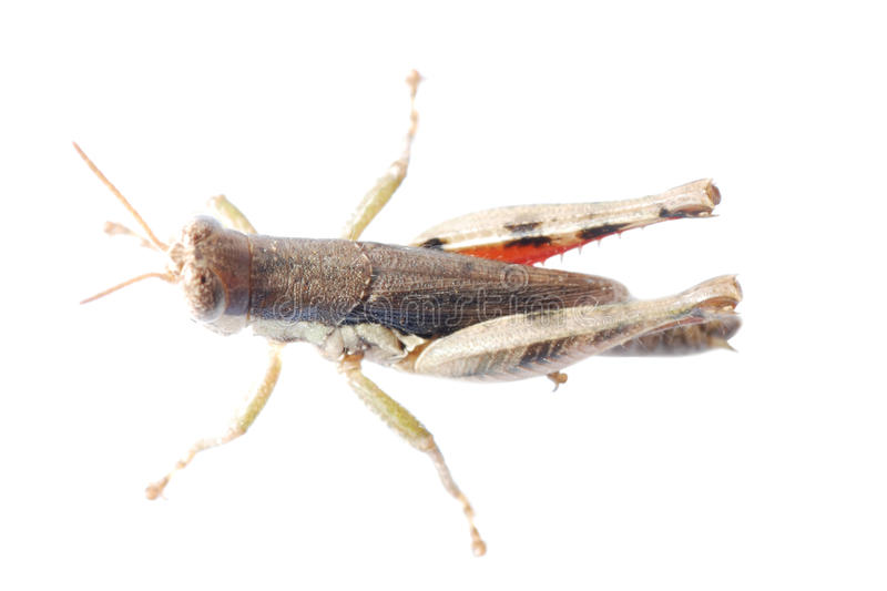 Download Pest insect  locust stock image. Image of background - 16919317