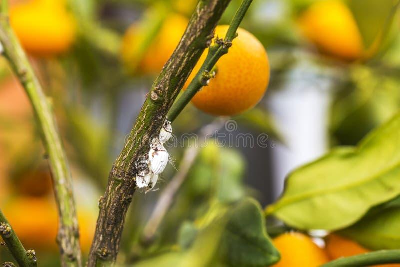 Pest mealybug closeup on the citrus tree royalty free stock photos